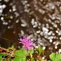 小川に咲く