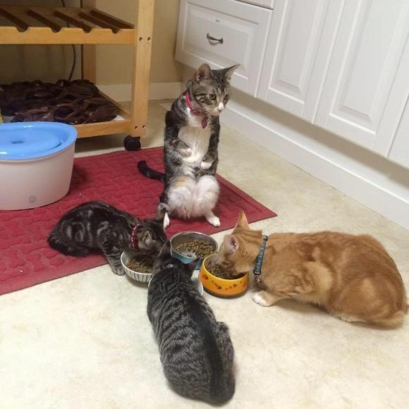 カンガルーキャットと呼ばれた猫