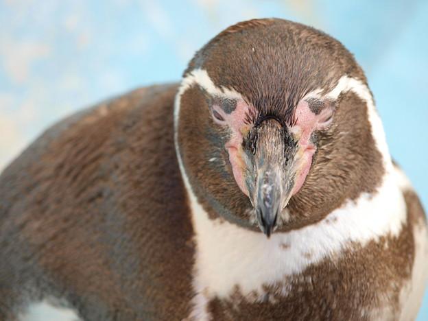 ペンギン園の長老