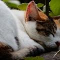 写真: 三毛の寝顔