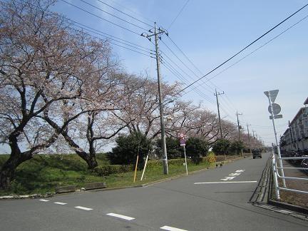 向川団地近くの浅川土手の桜2