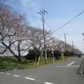 Photos: 向川団地近くの浅川土手の桜2