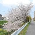 土手の桜も・・・