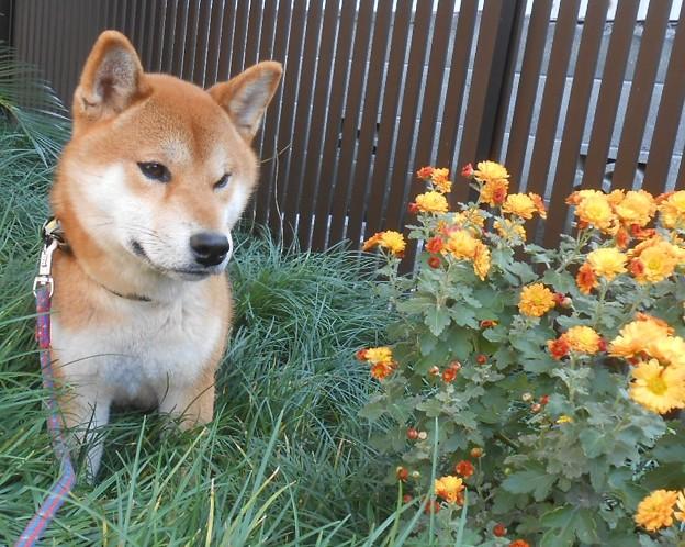 小菊と柴犬2
