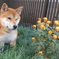 小菊と柴犬