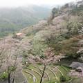 写真: 奥山半僧坊の桜   雨上がりにしっとり