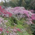 写真: しだれ桃の花 乱舞