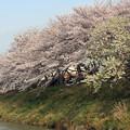 写真: 長池の桜 満開(1)一瞬の晴れ間に\(^o^)/