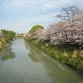 写真: 長池 (3) 桜満開の