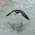 写真: 敷地川に沿って  (2)  飛ぶ カワウ