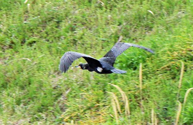 Photos: 敷地川に沿って  (3)  飛ぶ カワウ