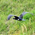 写真: 敷地川に沿って  (3)  飛ぶ カワウ
