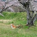 写真: 敷地川沿いの桜並木 (5) ワンちゃんもお花見
