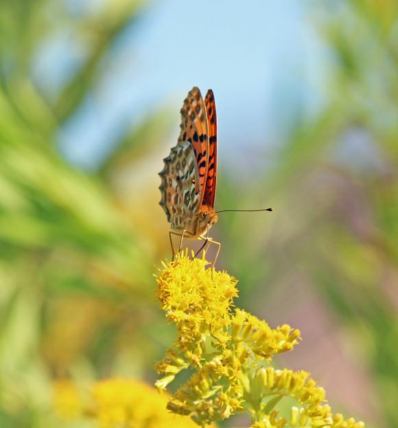 ツマグロヒョウモンさん(雄 ) セイタカアワダチソウの花に (1)