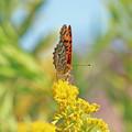 写真: ツマグロヒョウモンさん(雄 ) セイタカアワダチソウの花に ?