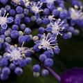 写真: 蒼い香り blue-notes 16