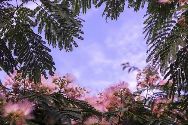 8月の薄い空/ネムノキ