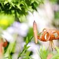 写真: 夏の庭/lily 2