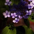 こもれ美 紫陽花 a