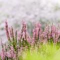 写真: 晩夏の庭/ヒース彩る