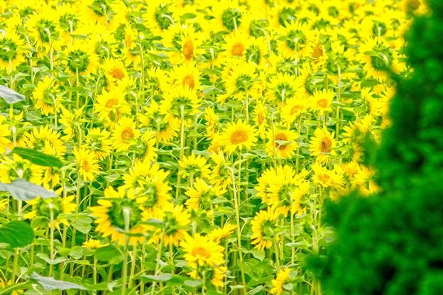 夏の記憶 Urban sunflower 1