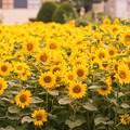 写真: 夏の記憶 Urban sunflower 2