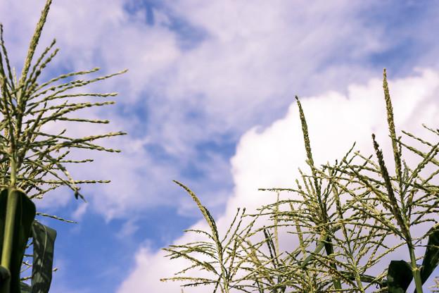 写真:  秋景 少し高い空と穂