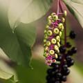 写真: 過日の果実/ヨウシュヤマゴボウ
