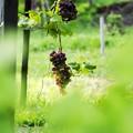 写真: 仲秋の庭/収穫前