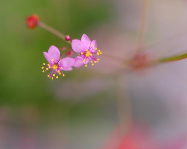 「私の好きな・・・ピンクの花びらに黄色いシベ」