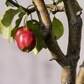 写真: 過日の果実/ヒメリンゴ