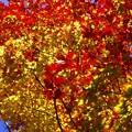 写真: 紅桜公園/錦秋 +/炎色モミジ葉