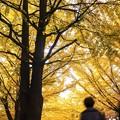 北大・秋風景/イチョウ並木黄葉