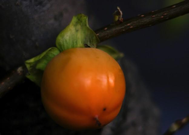 写真: 「青柿が熟柿弔う」