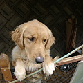 Photos: 実家の犬