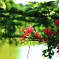 写真: 美笹湖の赤と緑とそよかぜと・・・_003