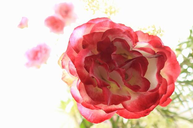 窓辺の薔薇_1