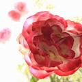 写真: 窓辺の薔薇_1