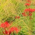 畦に艶花_3