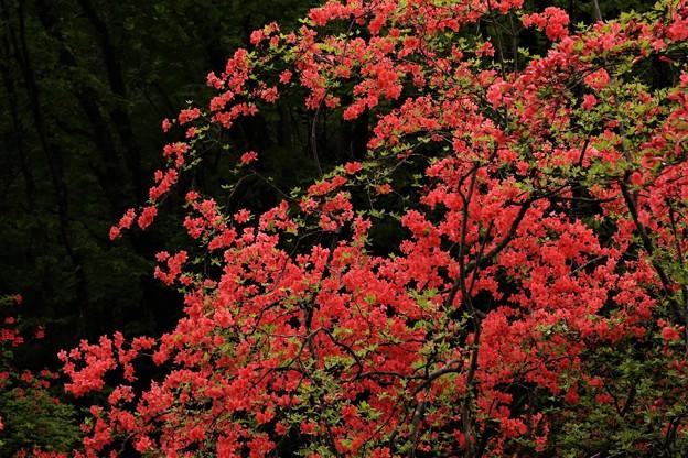写真: ツツジ咲く