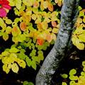 写真: 野反湖の秋3