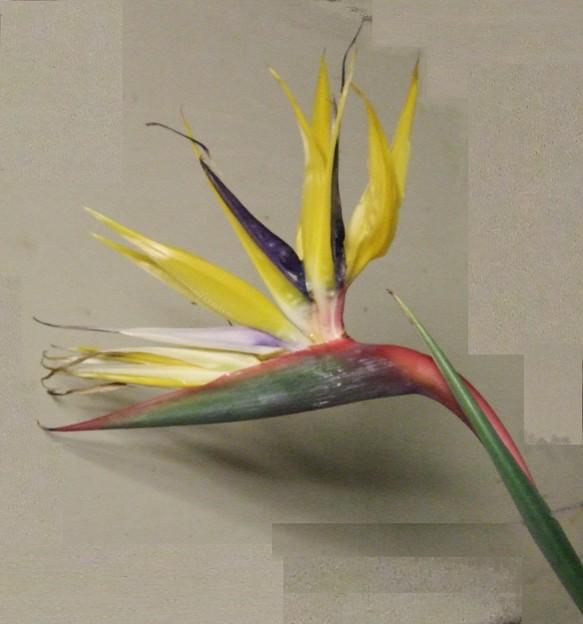 ストレリチア(花)