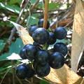 熟れた山葡萄(普通サイズ)