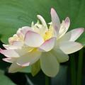 写真: 開いたハスの花。