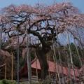 慈得寺の枝垂桜は種まき桜