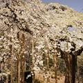慈徳寺の枝垂れ桜