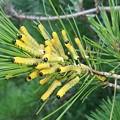 写真: マツノクロボシハバチの幼虫