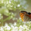 写真: オトコエシと蝶