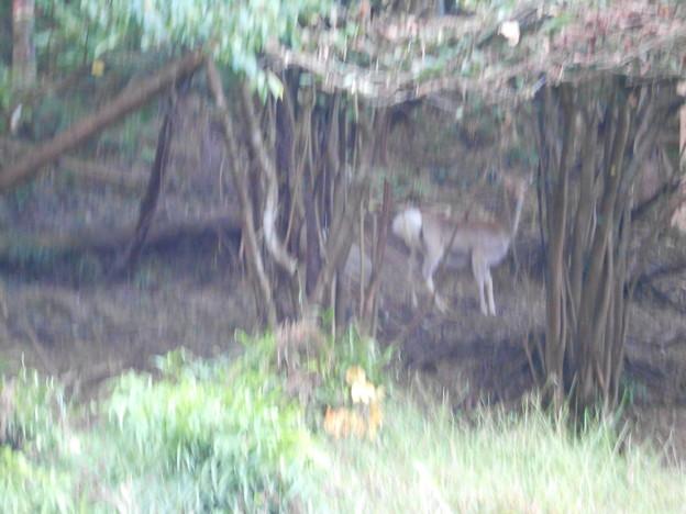 群馬県 南牧村 鹿