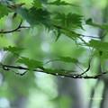 写真: 雨のブナ林を・・・